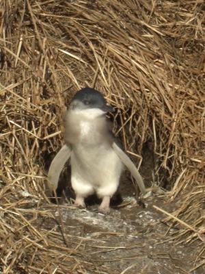 My favourite little penguin